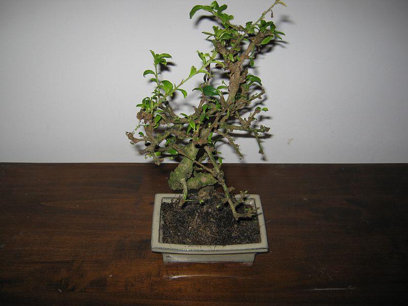bonsaiu-lu-calin02